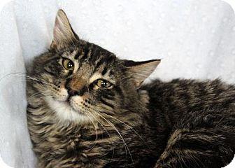 Domestic Shorthair Cat for adoption in San Jose, California - Eeyore