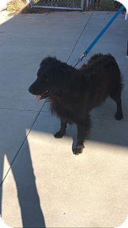 Flat-Coated Retriever Mix Dog for adoption in Charlotte, North Carolina - Riley