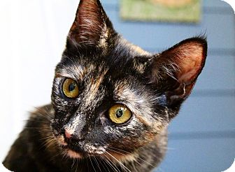 Domestic Shorthair Kitten for adoption in Los Angeles, California - Katrina