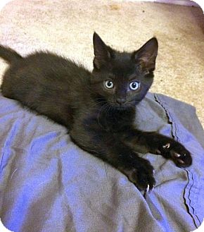 Domestic Shorthair Kitten for adoption in Charlotte, Michigan - Millie