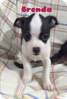 Rat Terrier/Jack Russell Terrier Mix Puppy for adoption in Long Beach, California - Nibbs