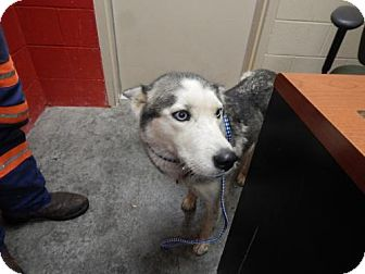 Husky Mix Dog for adoption in Pikeville, Kentucky - Piper