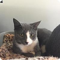 Domestic Shorthair Kitten for adoption in Hampton, Virginia - Rosalie
