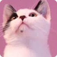 Adopt A Pet :: Tinsel - LaJolla, CA