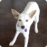 Adopt A Pet :: Flo - San Antonio, TX