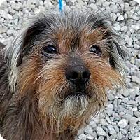Adopt A Pet :: Cody - New York, NY