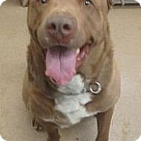 Adopt A Pet :: Roscoe @ Apple Valley - Beverly Hills, CA