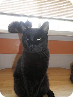 Bombay Cat for adoption in Warren, Michigan - Danali