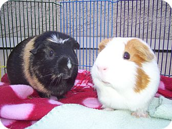 Guinea Pig for adoption in Fullerton, California - Haru and Minnie