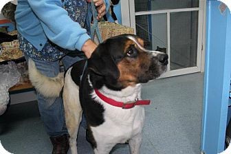 St. Bernard/Bernese Mountain Dog Mix Dog for adoption in Chicago, Illinois - Batista (ADOPTED!)