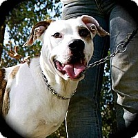 Boxer/Hound (Unknown Type) Mix Dog for adoption in Whites Creek, Tennessee - Claira Bear-a-bell