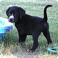 Adopt A Pet :: *Bobby - PENDING - Westport, CT