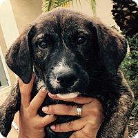 Adopt A Pet :: Fergie#2M - Orlando, FL