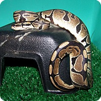 Adopt A Pet :: Idris, a baby ball python - Bristow, VA