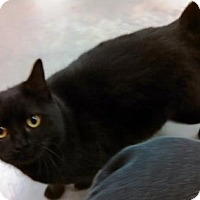 Adopt A Pet :: Midnight Beauty - Amelia, OH