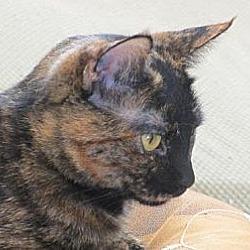 Photo 1 - British Shorthair Cat for adoption in Los Angeles, California - Lorna