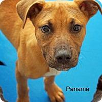 Adopt A Pet :: Panama - Old Saybrook, CT