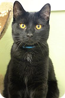 Domestic Shorthair Cat for adoption in Medina, Ohio - Bradley
