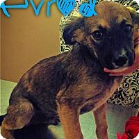 Adopt A Pet :: Evrod - Garden City, MI