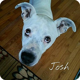 Pit Bull Terrier Mix Dog for adoption in Fountain Inn, South Carolina - Josh
