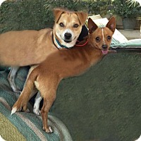 Chihuahua Mix Dog for adoption in Toluca Lake, California - Teddy