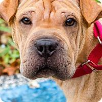 Adopt A Pet :: Bonzai - Miami, FL