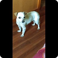 Adopt A Pet :: Daisy - Chi Mix - New Hartford, NY
