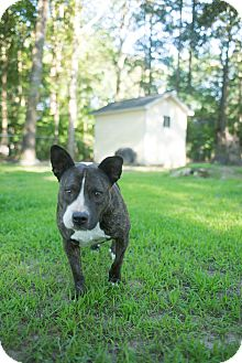 American Pit Bull Terrier Mix Dog for adoption in Tarboro, North Carolina - Adi