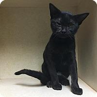 Domestic Shorthair Kitten for adoption in Westminster, California - Honeycrisp