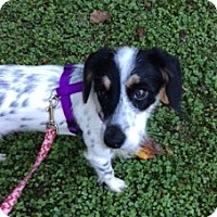 Terrier (Unknown Type, Medium) Mix Dog for adoption in Alpharetta, Georgia - Myla