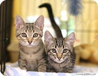 Domestic Shorthair Kitten for adoption in Westchester, California - Jo_Jo/Nora