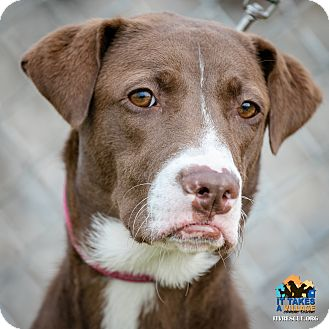 Labrador Retriever Mix Dog for adoption in Evansville, Indiana - Melanie