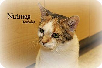Calico Cat for adoption in Glen Mills, Pennsylvania - Nutmeg
