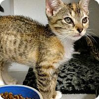Adopt A Pet :: Pixie - Shoreline, WA