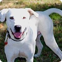 Labrador Retriever Mix Dog for adoption in Franklin, Tennessee - JONAH
