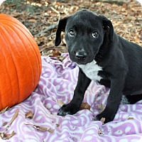 Labrador Retriever Mix Puppy for adoption in Seneca, South Carolina - Jesse $250