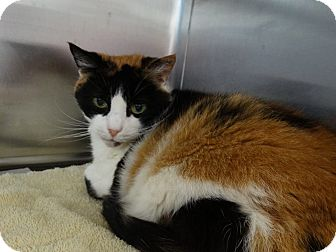 Calico Cat for adoption in Bloomfield, New Jersey - AMBER