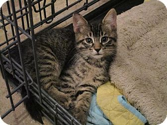 Domestic Shorthair Kitten for adoption in St. Louis, Missouri - Klein