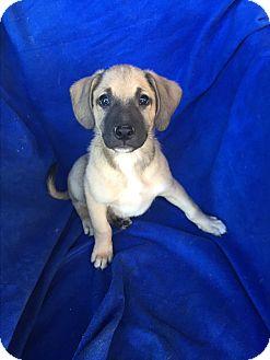 Australian Shepherd/Labrador Retriever Mix Puppy for adoption in Studio City, California - JJ