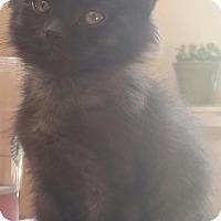 Adopt A Pet :: Penelope - Palatine, IL