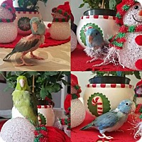 Adopt A Pet :: Parrotlets - Stratford, CT