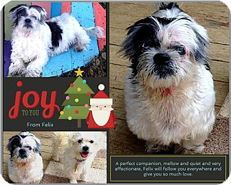Shih Tzu/Pekingese Mix Dog for adoption in Johnson City, Texas - Felix
