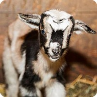 Adopt A Pet :: SAMMY - Dedham, MA