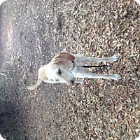 Greyhound/Hound (Unknown Type) Mix Dog for adoption in Crestview, Florida - Sammy