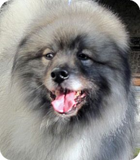 Keeshond Dog for adoption in Los Altos, California - Guido