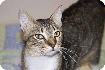 Polydactyl/Hemingway Cat for adoption in New Port Richey, Florida - Bojangles