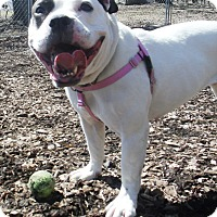 Adopt A Pet :: Shay - Middletown, NY