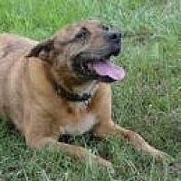 American Staffordshire Terrier Mix Dog for adoption in Jackson, Mississippi - Pheonix