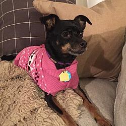 Photo 1 - Miniature Pinscher Dog for adoption in Nashville, Tennessee - Lexus