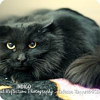 Adopt A Pet :: Indigo - Appleton, WI